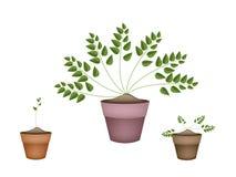 Tre vintergröna växter i keramiska blomkrukor Arkivbild