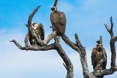 Tre Vit-drog tillbaka gam i ett träd Arkivbilder