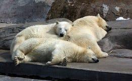 Tre vita björnar Arkivbild