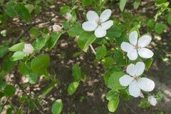Tre vita blommor och tre rosa knoppar av kvitten Arkivbild
