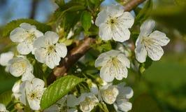 Tre vita blommor på en filial av ett fruktträd Royaltyfri Foto