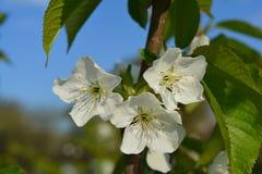 Tre vita blommor på en filial av ett fruktträd Arkivfoton