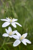 Tre vita blommor på grönt gräs. Arkivbilder