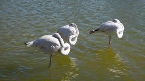 Tre vita flamingo som står i krusigt vatten stock video