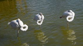 Tre vita flamingo som står i krusigt vatten lager videofilmer