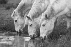 Tre vita hästar som dricker royaltyfri fotografi