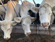 Tre vita kor som äter hö arkivbilder
