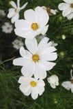 Tre vita kosmosblommor i trädgård royaltyfri bild