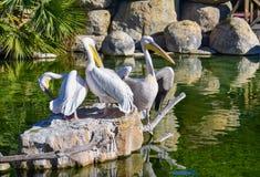 tre vita pelikan vilar på vaggar i ett grönt vattendamm En pelikan är öppnade svartvita vingar som torkar dem _ royaltyfri foto