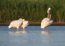 Tre vita pelikan vilar på vattnet Royaltyfri Bild