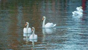 Tre vita svanar på sjön arkivfoto