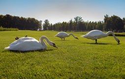 Tre vita svanar som äter sparat gräs i grön sommar Fåglar med den vita fjädern i mitt av ängen arkivfoton