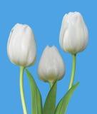 tre vita tulpan Royaltyfri Bild
