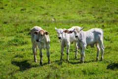 Tre vitelli nel pascolo verde Immagine Stock Libera da Diritti