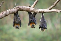 Tre volpi volanti che appendono sottosopra Fotografia Stock Libera da Diritti
