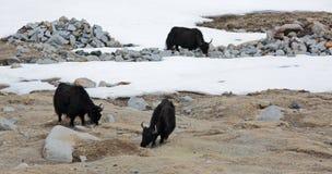 Tre yaks Royaltyfri Fotografi