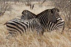 Tre zebre Fotografia Stock Libera da Diritti