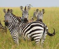 Tre zebre Fotografia Stock