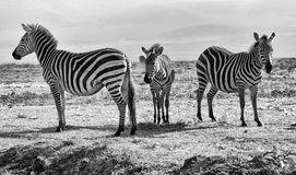 Tre zebre in bianco e nero - famiglia fotografia stock libera da diritti
