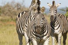 Tre zebre che stanno nella breve erba Immagini Stock