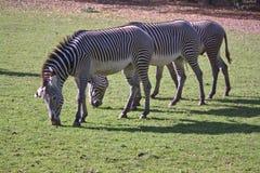 Tre zebre d'alimentazione Fotografie Stock
