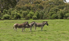 Tre zebre in uno zoo libero della gamma Fotografia Stock Libera da Diritti