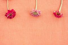 Tre zinnias på kulör kanfas för persika med kopieringsutrymme arkivfoton