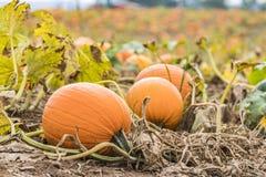 Tre zucche arancio hanno attaccato alla viticoltura su terra nel campo Fotografie Stock