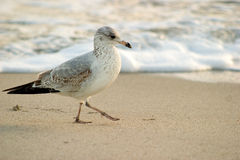 Tread softly. A seabird walking along the beach stock photography