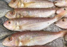 Treadfin Breams, fresh red fish on ice Stock Photography