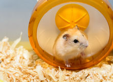 Treadmill exercise for Hamster Stock Photos