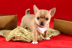 The Treasure of Aztecs - Red Chihuahua Puppy. Adorable short-haired red color miniature Chihuahua puppy with scarf on red background. The puppy is 1,5 month old stock photo