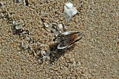 Treasure beach molusc Stock Photos