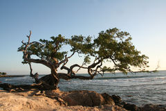 Treasure Beach Tree. A tree on a beach in treasure beach jamaica on the south section of the island Stock Image