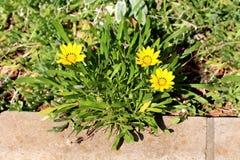 Treasure flower or Gazania rigens half-hardy perennial plants with daisy-like composite flower heads shaped like small bush. Treasure flower or Gazania rigens royalty free stock images