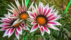 Treasure flower Gazania rigens white flower with red shadows royalty free stock images