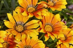 Treasure flower, Gazania splendens Stock Image