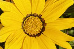 Treasure flower, Gazania splendens 'Kiss Yellow' Royalty Free Stock Photos