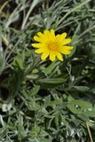 Showy jasmine. Latin name - Jasminum floridum subsp. giraldii royalty free stock photo