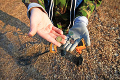 Treasure hunter. Searching with metal detector. Old Coins in hand Stock Photo