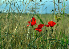 Poppies. Red poppies in the green field Stock Images