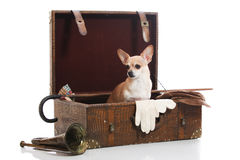 Treasured items. Chihuahua among a collection of antique items Royalty Free Stock Image