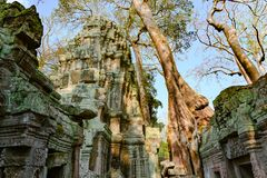 Ta Prohm Temple, Angkor Wat, Siem Reap, Cambodia.Treat of demage from growing trees  Big roots over the walls of a temple.