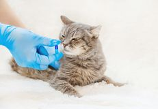 Treatment of cat pills. veterinary medicine. selective focus. Animal royalty free stock images