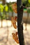 Treatment of cicada Royalty Free Stock Photos