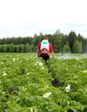 Treatment of potato crops with chemicals from the Colorado  beetle. Seasonal treatment of potato crops with chemicals from the Colorado potato beetle on a small Royalty Free Stock Photography