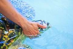 Treatment of a sea turtle. A sea turtle at 'Sea Turtles Conservation Center Royal Thai Navy', Thailand Royalty Free Stock Photos