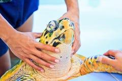 Treatment of a sea turtle Stock Photos