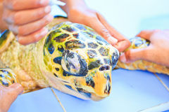 Treatment of a sea turtle Royalty Free Stock Photo