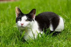 Treats please. Domestic pet cat sitting relaxed but alert in short cut grass on a well kept lush green garden lawn with pricked up ears, green eyes, looking royalty free stock photography